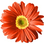 Pop Art Red Gerbera Daisy T-shirts & Gifts