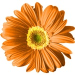 Pop Art Orange Daisy T-shirts & Gifts