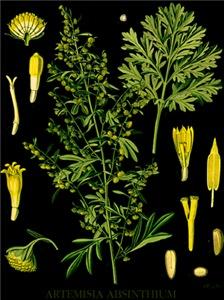 Artemesia Absinthium