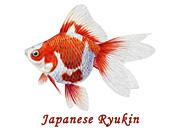 Japanese Ryukin