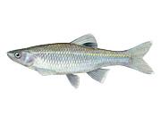 Spotfin Shiner