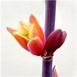 Red Yucca Blossom