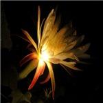 Cereus Cactus Blossom