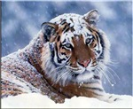 WINTER SHIRTS - Tigers - Wolves - USMC Marines