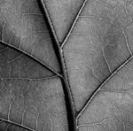 Black and white leaf veins