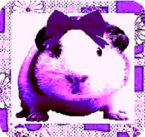 Gorgeous The Guinea Pig