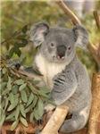 Koala Bear 4