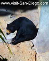 San Diego Zoo Black Bear