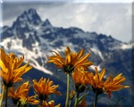 Wildflowers Grand Tetons