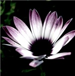 Purple-Tipped Daisy