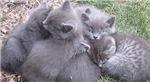 Gray Kittens