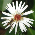 Hover Fly on Aster
