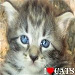 I Love Cats Grey Kitten