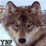 Wolf YNP, Wyoming
