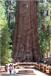 General Sherman Sequoia with Girls