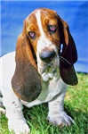 Basset Hound Photo