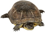 Blandings Turtle Photo