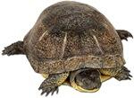 Blandings Turtle Photo