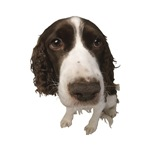 Springer Spaniel Close-Up