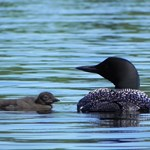 Copy of Loon and baby loon