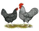 Marans Cuckoo Chickens
