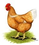 Golden Sex-link Hen