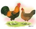 Welsummer Chickens