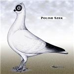 Polish Shortface Pigeon
