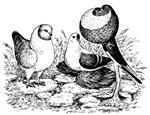 Pigeon Trio