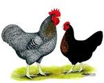Black Sex-link Chickens