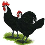 Spanish Cock and Hen