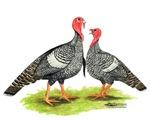 Narragansette Turkeys