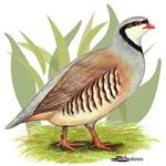 Chukar Partridge2