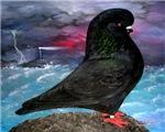 Rumbler Storm Pigeon