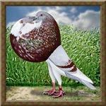 Cropper Pigeon in Field