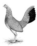 Grey American Game Hen