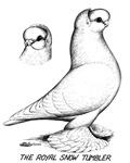 Royal Snow Tumbler Pigeon