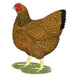 Wyandotte Gold Laced Hen