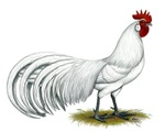 Phoenix White Rooster