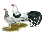 Yokohama Duckwing Chickens