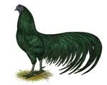 Sumatra Black Rooster