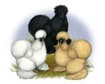 Silkie Chicken Trio