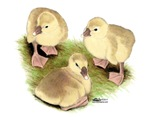 Buff African Goslings