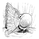 Fantail Pigeon 1978