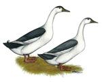Blue Magpie Ducks