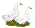 White Pekin Ducks 2