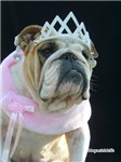 Norma the English Bulldog's