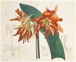 Hippeastrum Striatum Amaryllis