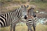 Z-zebras
