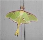 Pretty Green Moth